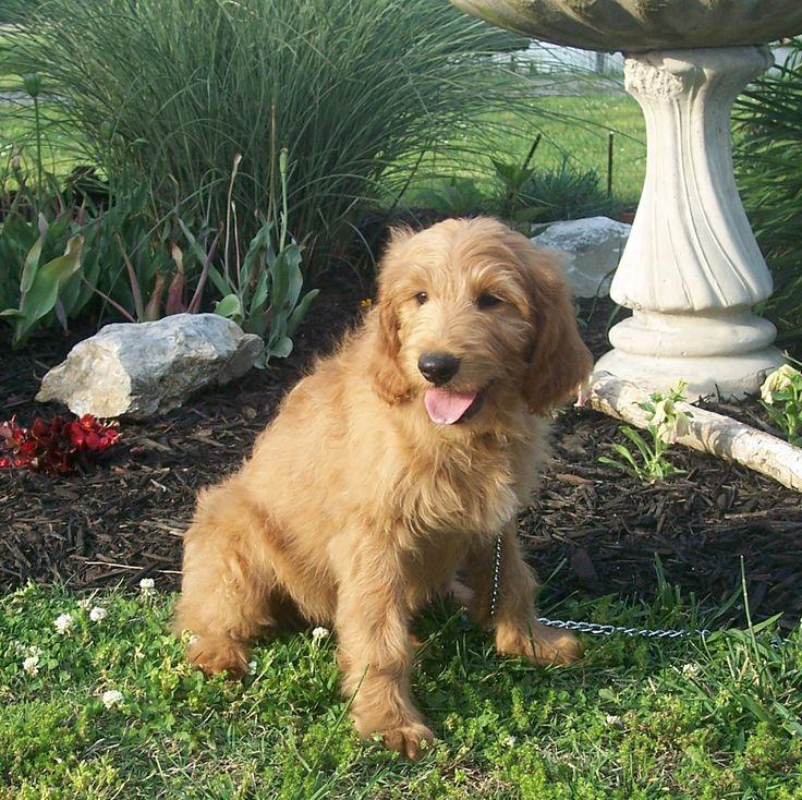 Adult Standard Goldendoodles | F1 Standard Goldendoodle Female: Hi, I'm Mae. Mom says my sister ...