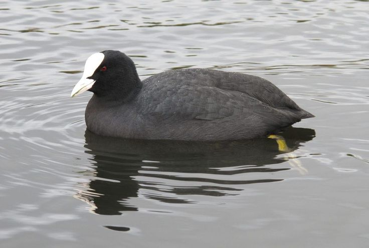 Who you calling a coot? | by Derek Keats