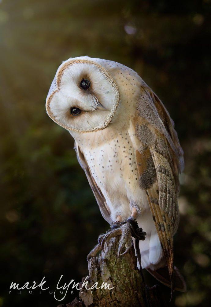 Barn Owl by Mark Lynham on 500px #barnowls in 2020 | Barn ...