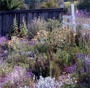 Verbena, senecio, yarrow, phlomis. Excellent advise for a low water cottage garden