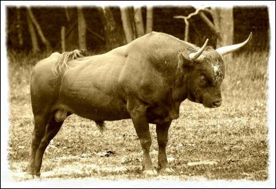 The aurochs , the ancestor of domestic cattle, is an extinct type of large wild cattle that inhabited Europe, Asia and North Africa; they survived in Europe until the last recorded aurochs, a female, died in the Jaktorów Forest, Poland in 1627.
