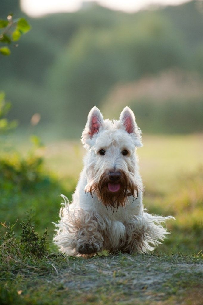 1000 Images About Wheaten Scottish Terrier On Pinterest
