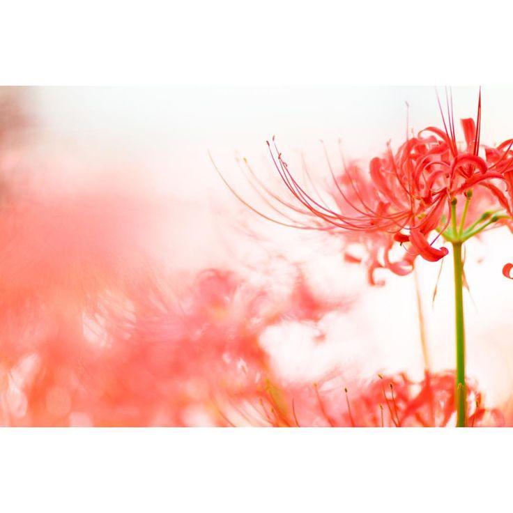 """456 次赞、 7 条评论 - renna* (@m__fleur) 在 Instagram 发布:""""・ ・ あのこに会いたい ・  #ふんわり写真部 #はなまっぷ #花フレンド #ザ花部 #エアリーフォト #私の花の写真 #東京カメラ部 #ゆるほわ倶楽部  #彼岸花 #リコリス  #曼珠沙華…"""""""