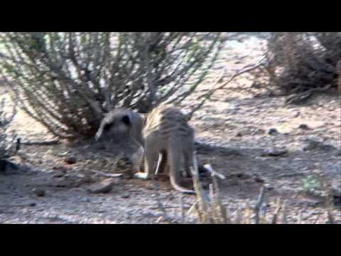 Free Stock Footage Wildlife Meerkat Burrowing for Food - Africa Travel Channel in HD - YouTube