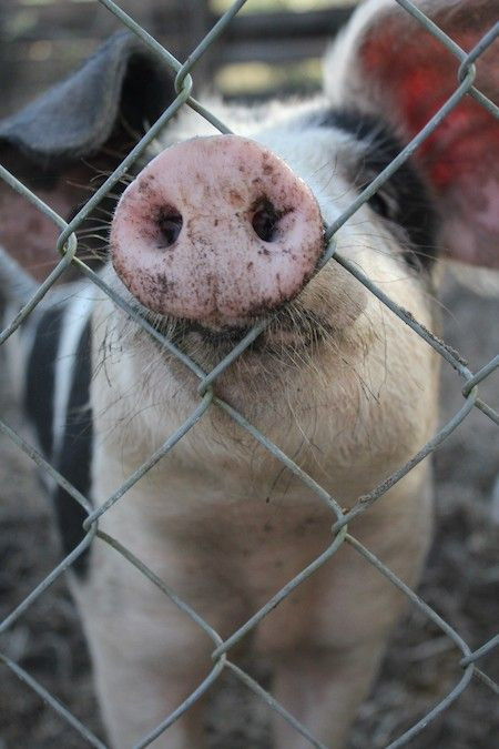 14 Pics That'll Make You Want to Kiss a Pig on the Snout - ChooseVeg.com