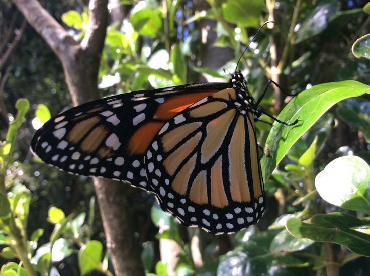 Monarch Butterfly by Lionessrules.deviantart.com on @DeviantArt