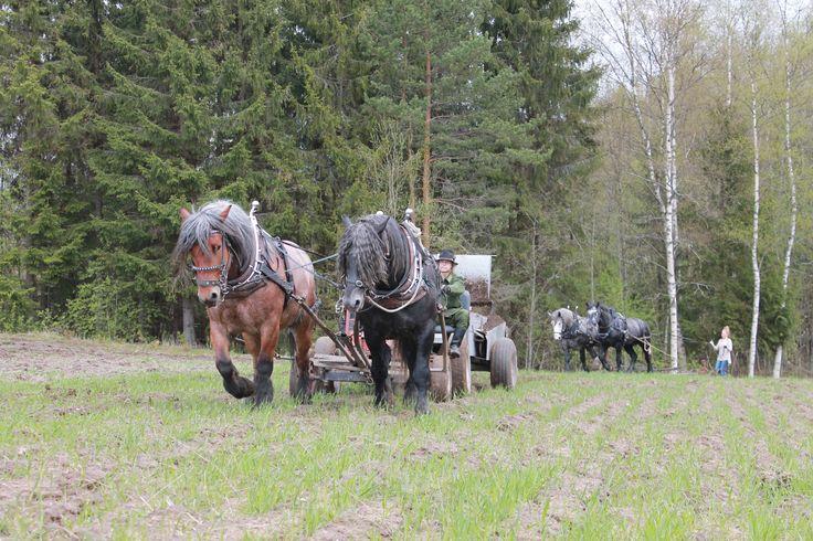Horse drawn manure spreader and fore cart, traditional harrow follows behind. #Percheron #Åfeltin Työhevoset www.tyohevoset.fi
