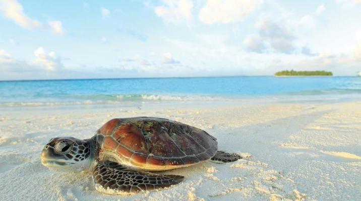Skildpadde på stranden ved Angsana Ihuru, Maldiverne