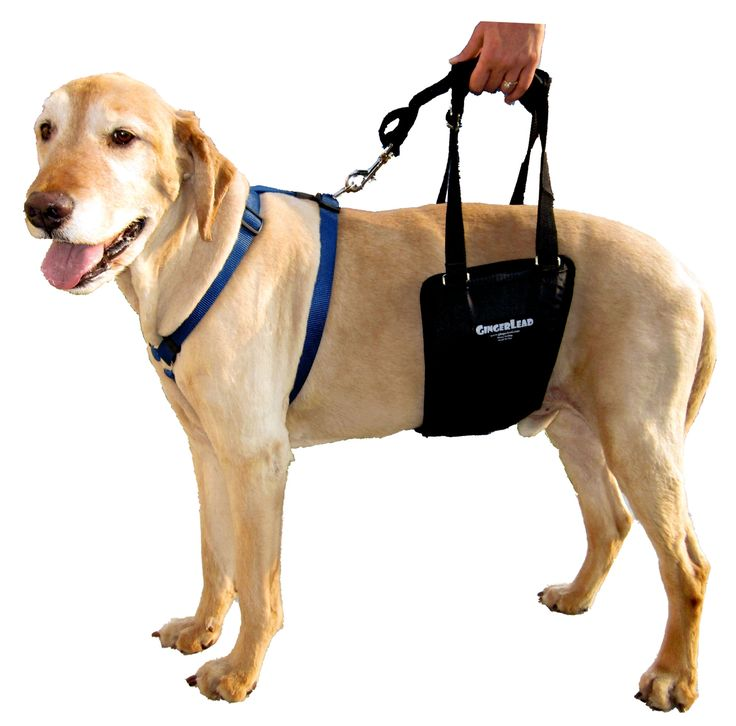 The Gingerlead Dog Support Amp Rehabilitation Harness Is A