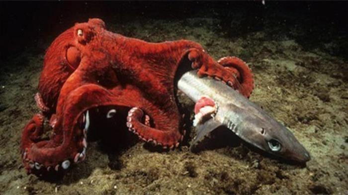 Animales Marinos Gigantes Pulpo Gigante del Pacifico