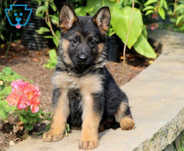 Iggy Shepherd Puppies German Shepherd Puppies Puppies