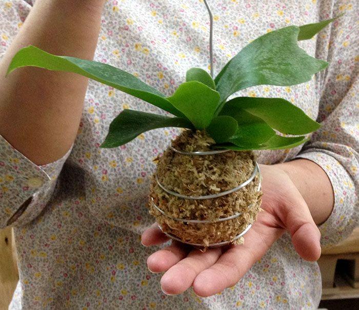 """学名:""""Platycerium bifurcatum """"  科属名:ウラボシ科・ビカクシダ属 原産地:インドネシア、オーストラリア 性状:常緑多年草"""