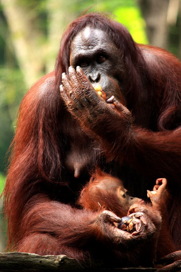 Mother and son Orangutan