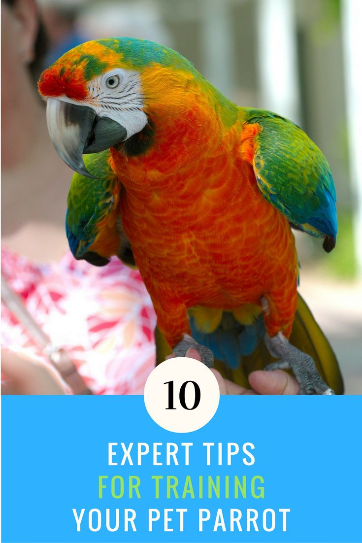 Have you just bought a new parrot and want to teach it some new tricks? Here are 10 expert tips to parrot training that will help you out. | Ideahacks.com