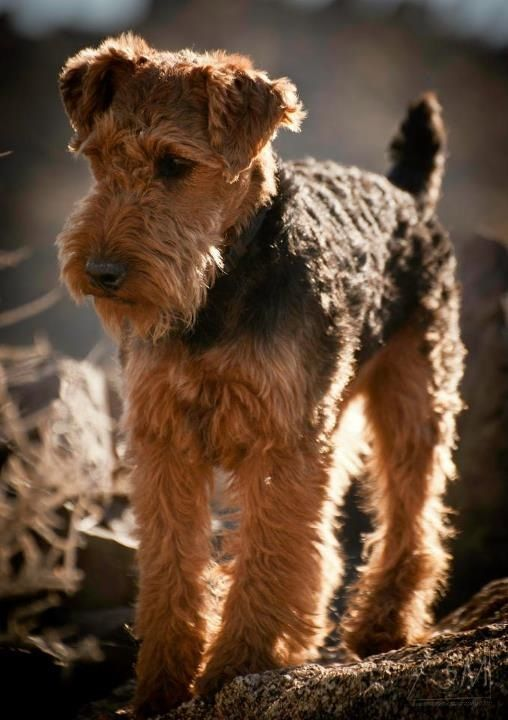 The Welsh Terrier originates from Wales and was bred originally for hunting otter, fox, badger and vermin. It's origins can be dated back to the 1700's.