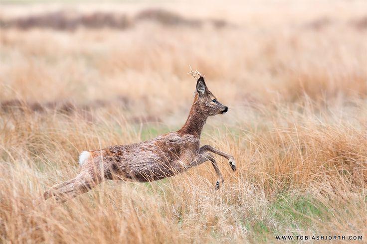 Roe Deer 5 by tobias hjorth