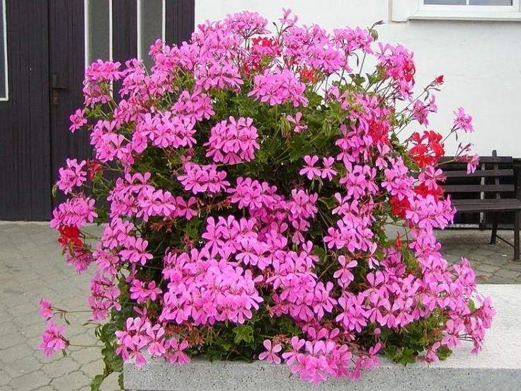 balcony for flowering plants: Pelargonium peltatum