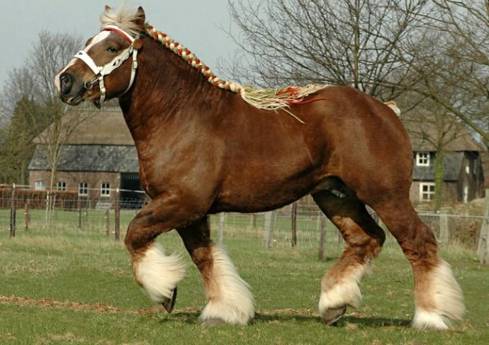 Belgian Trekpaard stallion, Harrie. In its variations, the Belgian is probably the most popular draft horse today. photo: Ton van der Weede.