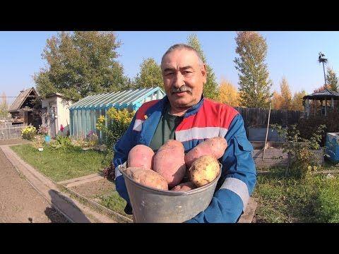 Посадка картофеля  Способ посадки картофеля для получения  высокого урож...