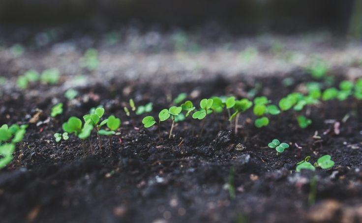 Jak vypěstovat dobrou rukolu – Pěstuj zeleninu