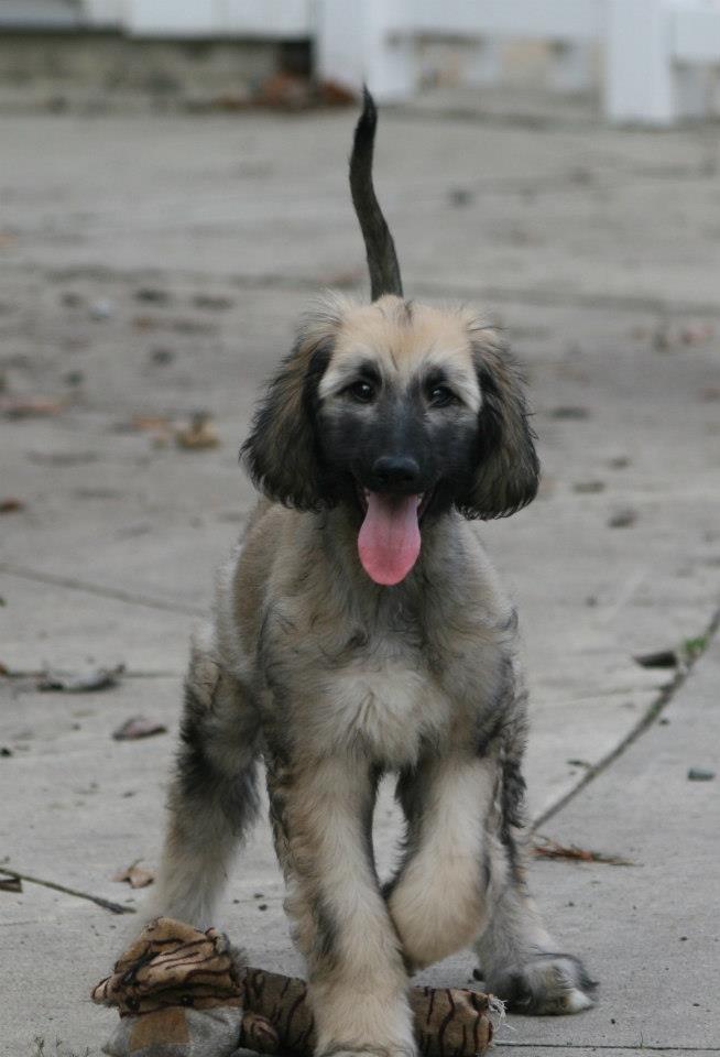Af puppy!