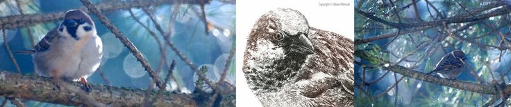 Passer domesticus #AdamPoltorak #sparrow