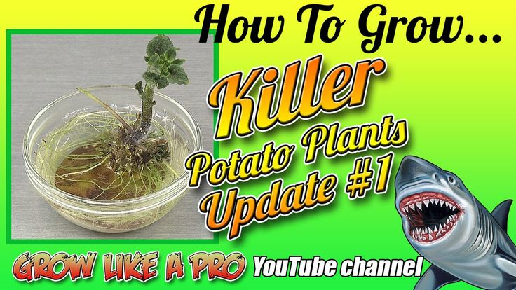 Killer Potato Roots Update And Planting Potato Plant