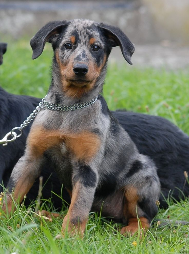 beauceron. I want one of these really bad!!!
