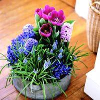 Forcing Spring Bulbs - Tulips, hyacinth, grape hyacinth, and Iris reticulata
