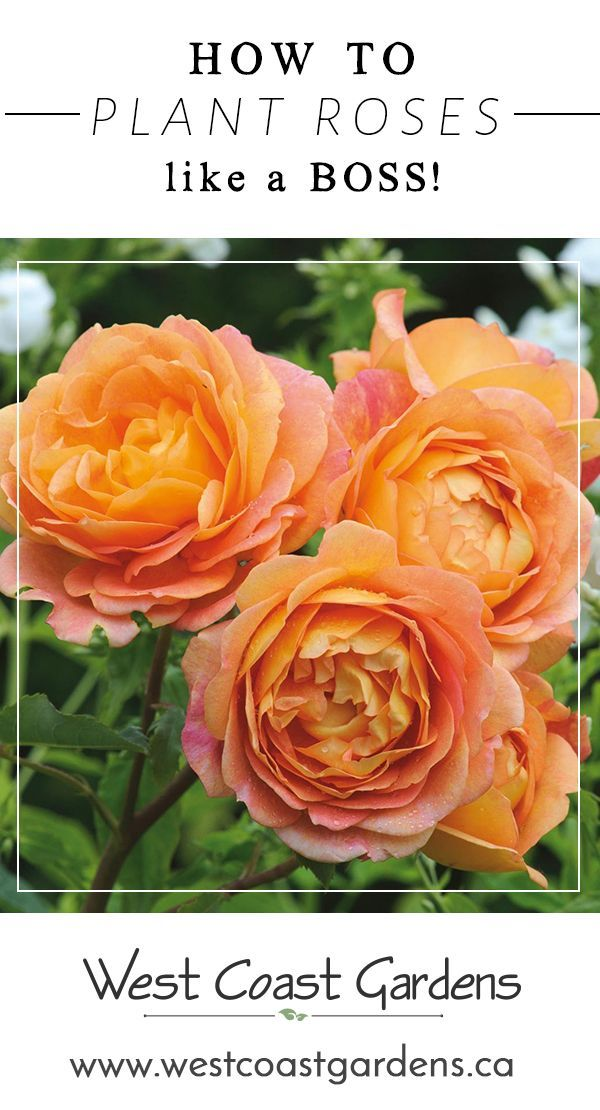 Planting Your New Rose Bush Like A Boss Garden Tips West Coast Gardens Planting Roses Planting Rose Bushes Rose Bush