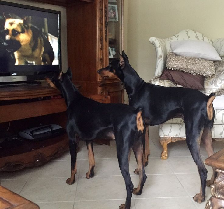 """Ava and DaVinci think the dog on TV is real. Silly! They remind me of  Jonathan Quayle Higgins III """"Lads""""~ Apollo & Zeus from """"Magnum P.I. except one of tthese lads is a girl.."""