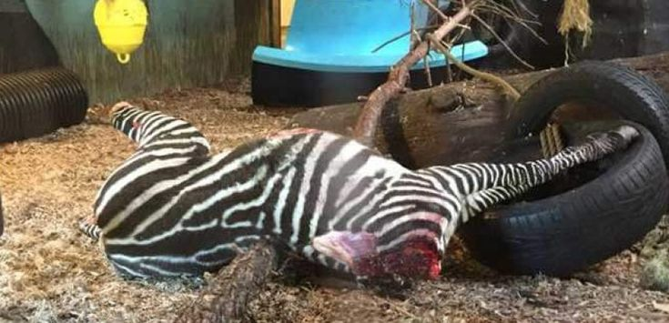 The zoo admitted that they killed the animal because they had too many. -- GRAPHIC: Zebra Beheaded and Fed to Tigers at Norway Zoo | PETA UK http://www.peta.org.uk/blog/graphic-zebra-beheaded-fed-tigers-norway-zoo/ @petauk