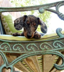 dapple dachshund.
