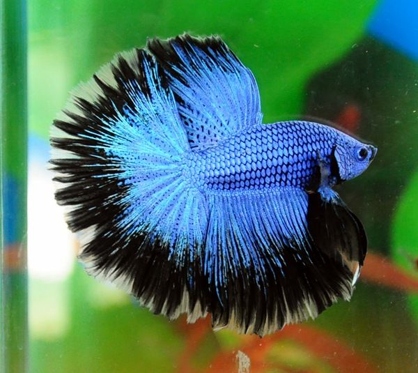 Blue halfmoon betta fish - photo#18