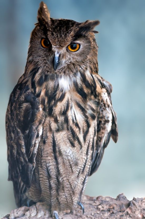 Eurasian Eagle Owl... and he knows what YOU'VE been up to.