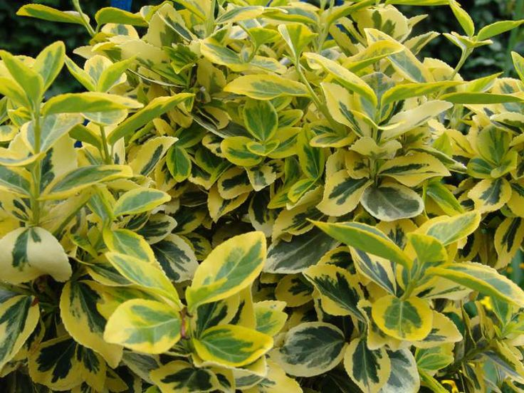 EUONYMUS fortunei 'Emerald Gold'