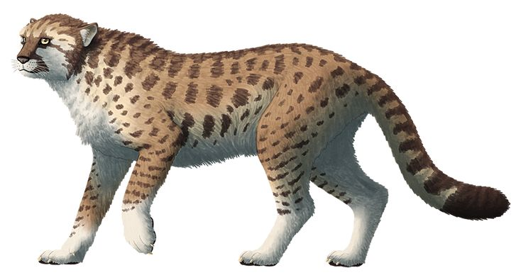 Miracinonyx, a feline from the Pleistocene of North America which lived between about 2.6 million and 12,000 years ago. Around 85cm tall at the shoulder (2′9″), it had long legs, semi-retractable claws, and a shortened skull with large nasal cavities...