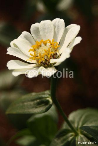 white kenikir flower