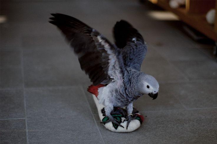 попугай жако – к взлету готов