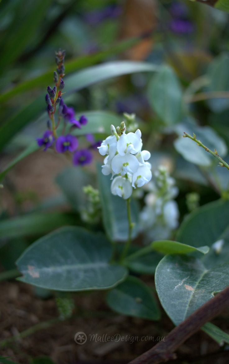 Hardenbergia 'Flat White' and 'Sweet Heart'