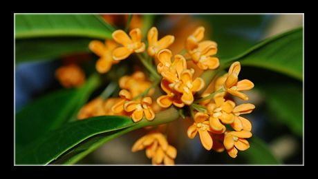 Maslinul parfumat (Osmanthus fragrans) este un arbust ornamental, din familia Oleaceae-lor, înrudit cu măslinul autentic. În China este cultivat de peste 2500 de ani, în scopuri ornamentale, medicinale și culinare, pentru florile sale galbene și dispuse în ciorchini, intens parfumate, care răspândesc o aromă neobișnuită, de piersici coapte...