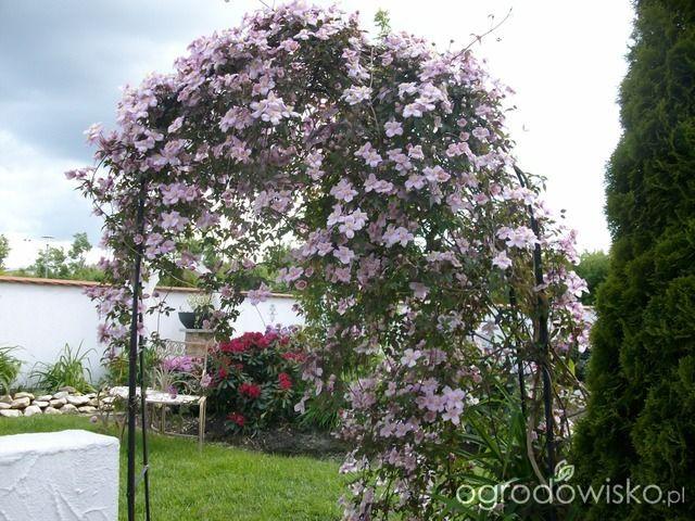Clematis montana 'Rubens' - wart grzechu - Forum ogrodnicze - Ogrodowisko …
