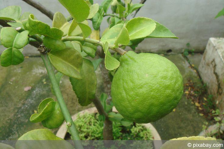 Kaffernlimette - Citrus hystrix