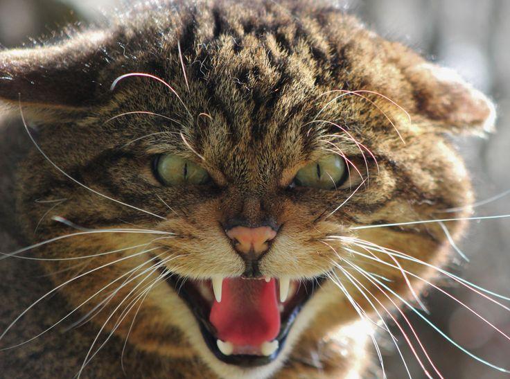 Endangers wildcat essays
