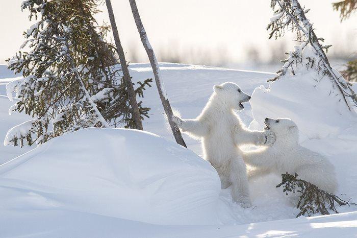 Κάθε χρόνο, από τα μέσα Φεβρουαρίου έως τα μέσα Μαρτίου, ένα μεγάλο γεγονός συμβαίνει στο Εθνικό Πάρκο Wapusk που βρίσκεται στον Καναδά: Γι...