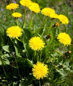 8 Uses for Dandelions | Off The Grid News