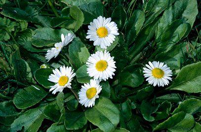 Bellis perennis, daisy