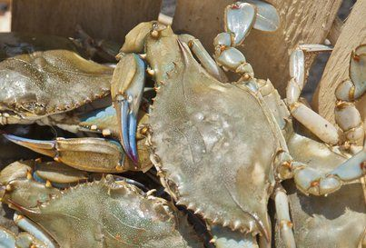 Cooking blue crab is quick and easy! See how we prepare the live Atlantic Blue Crabs we catch here on Cape Cod.