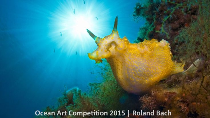 1st place nudibranchs category, 'Sunny Day' #piclectica