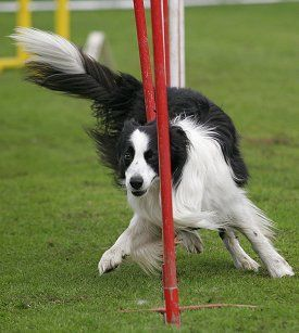 Border Collie Temperament, Personality, Behavior, Traits, and Characteristics, by Michele Welton.